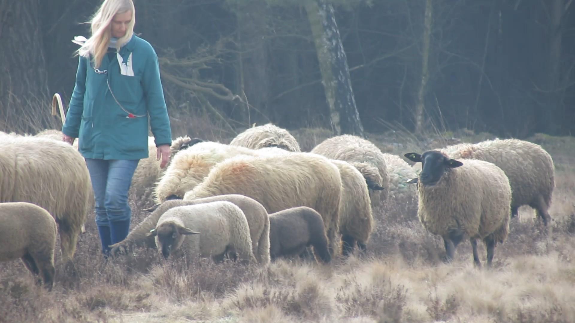 herderin met schapen 1