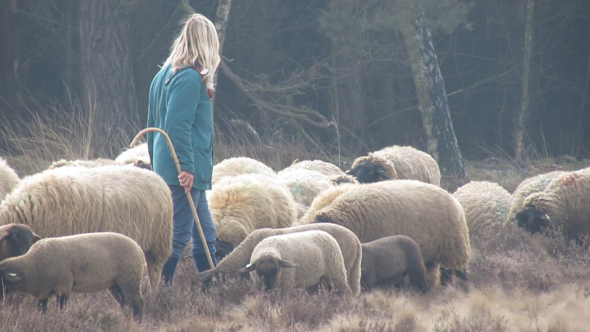 herderin met schapen 2