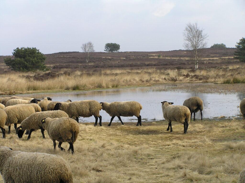 schapen bij het vennetje