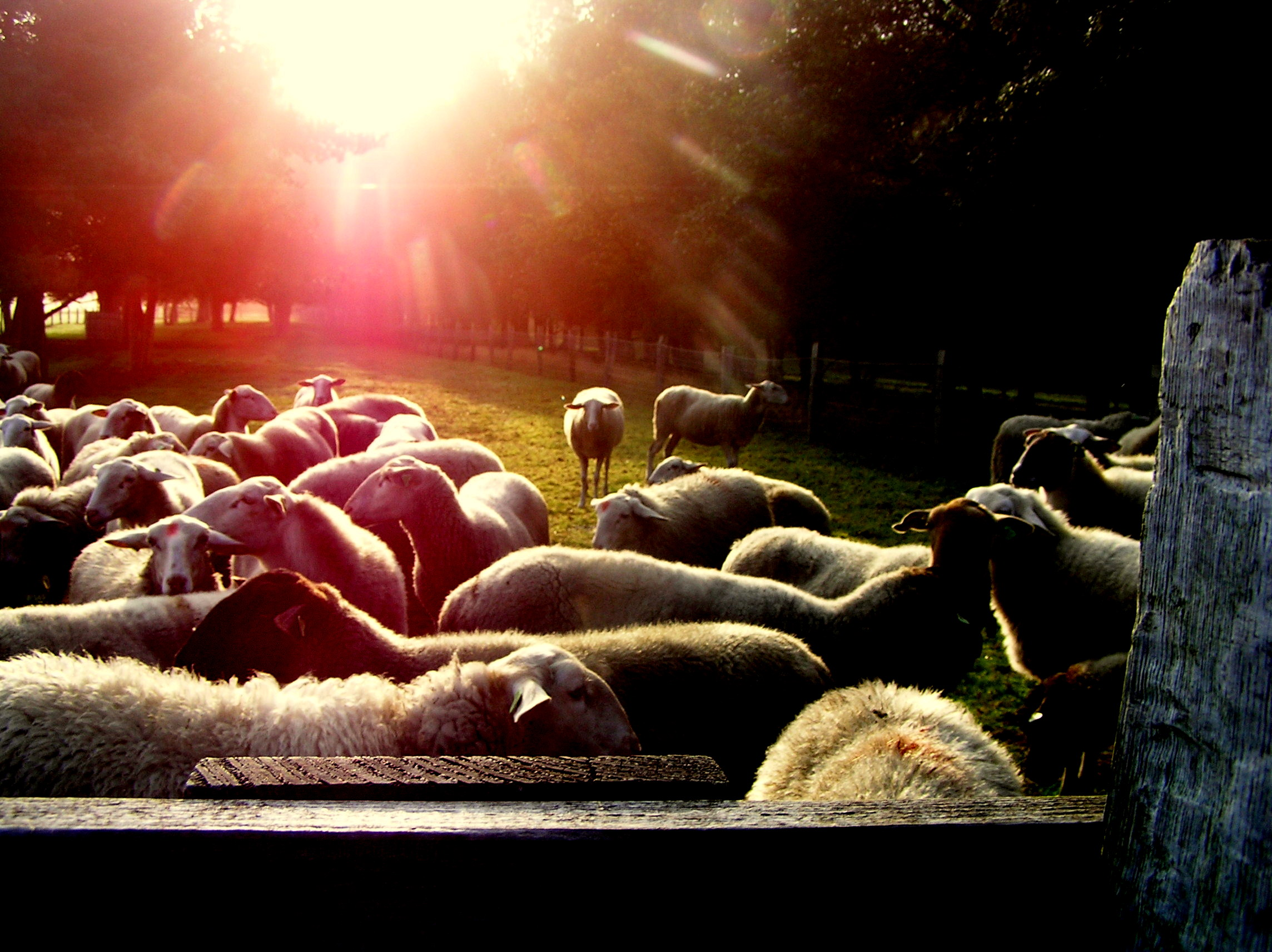 schapen bij een doorbrekende zon