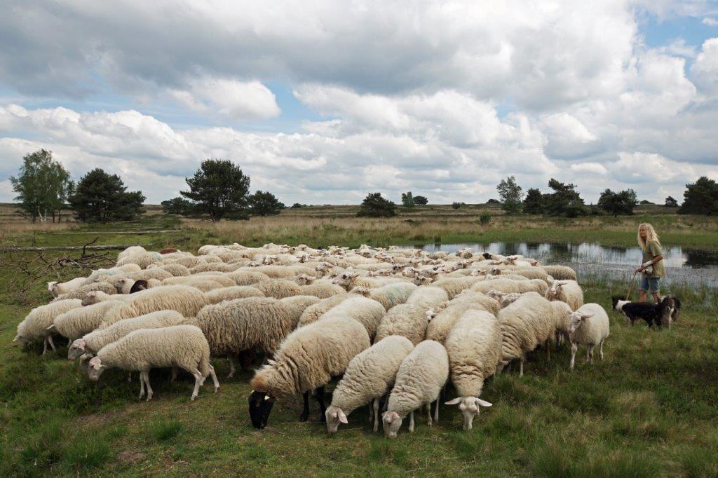 's Zomers met de schapen bij het Vennetje.