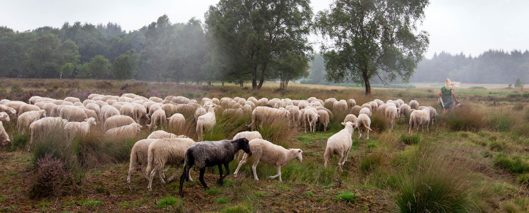 Met de schapen in het zomerveld.