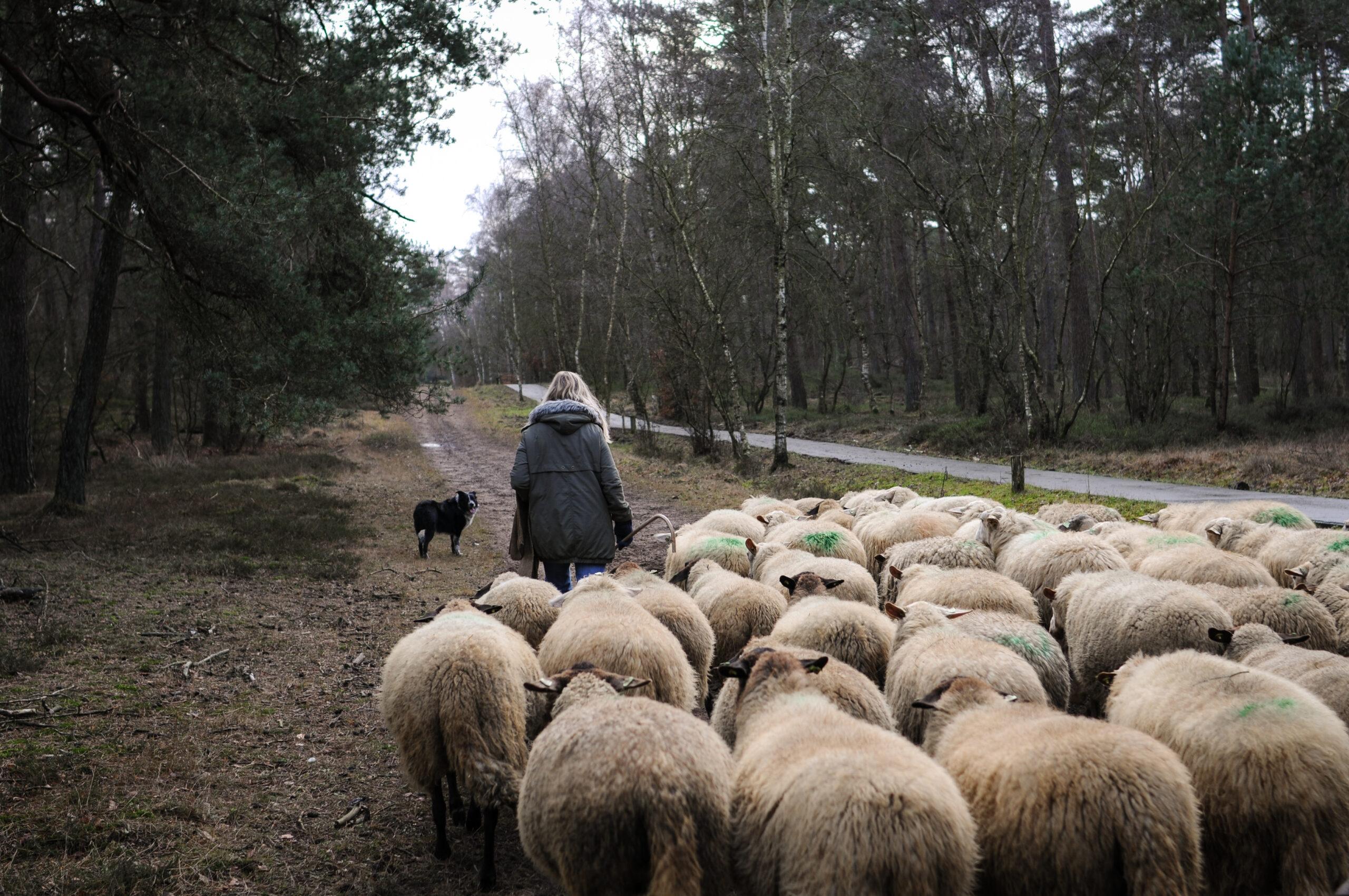 Puckie voor de schapen uit.