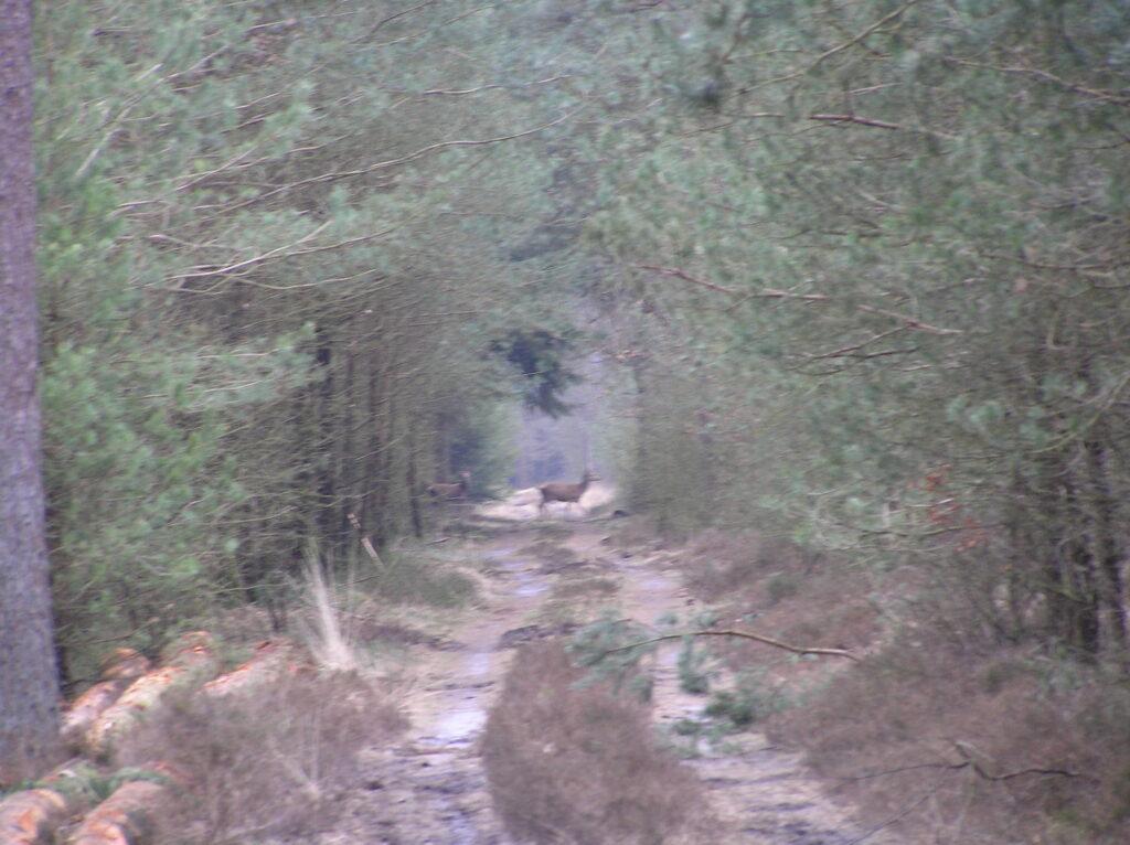 herten die oversteken in een bospad